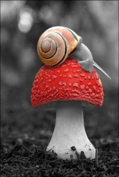 Vous croiserez ce champignon aux couleurs chatoyantes, au cours de vos promenades en forêt à l'automne. Appelé amanite tue-mouche, il est très décoratif, mais est-il comestible ?