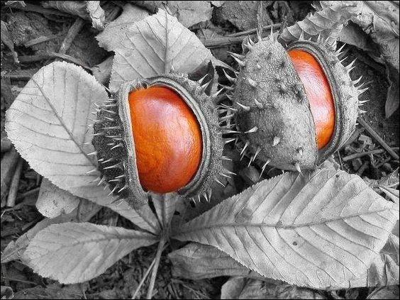 C'est sous un marronnier que j'ai cueilli ces fruits ! Sont-ils comestibles ?