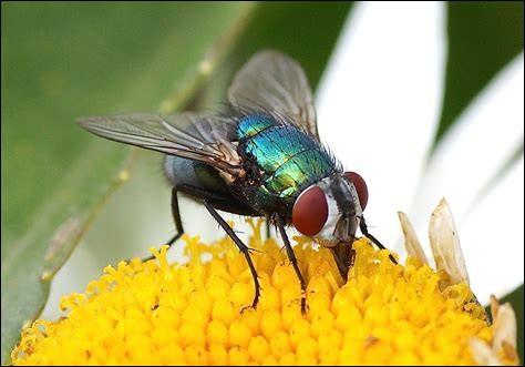 Ensuite, la mouche. La mouche est le plus souvent regardée par l'homme comme un insecte malpropre et vecteur de maladies comme le typhus ou le choléra. Mais quelle est la durée de vie d'une mouche domestique ?