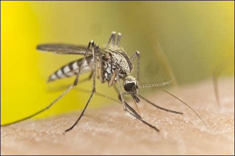 N'oublions pas le moustique ! Cet insecte t'embête toute la nuit et tu te réveille couvert de piqûres ! Mais seul le mâle moustique pique.