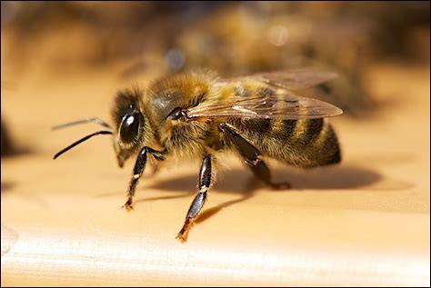 Et l'abeille. Elles volent de fleur en fleur à la recherche de nourriture. Elles récolte ainsi dans la nature nectar, propolis, millet et pollen. Ensuite, elles transforment une partie de leur récolte en produit(s) dérivé(s) :