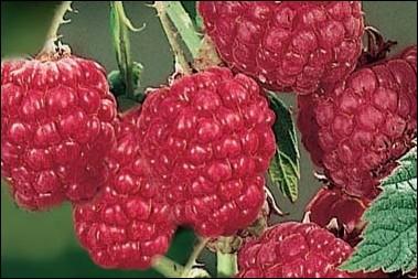 Quels framboisiers fructifient deux fois dans l'année ?