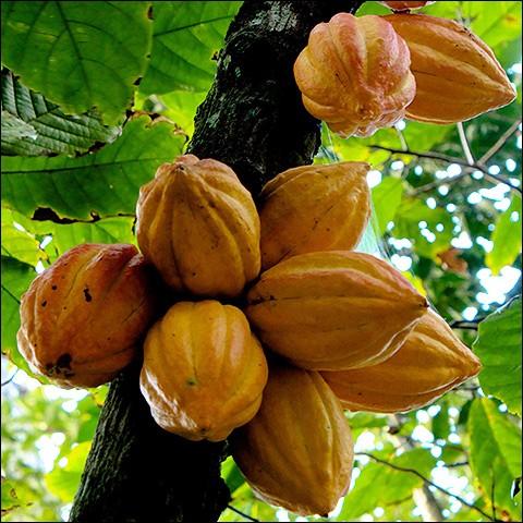 Quel est le fruit du Cacaotier ?