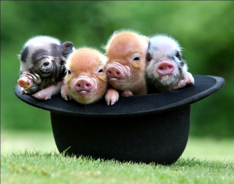 Combien les petits cochons sont-ils ?
