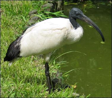 L'iris est un oiseau sacré en Égypte.