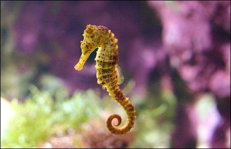 L'hippocampe tient son nom de l'hippopotame.