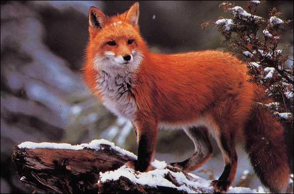 Le renard feule.