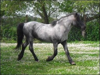 Comment s'appelle la particularité qu'a ce cheval au niveau de la tête ?