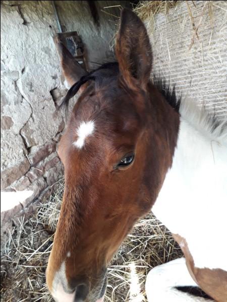 Quel est le nom de la marque sur le front de ce cheval ?