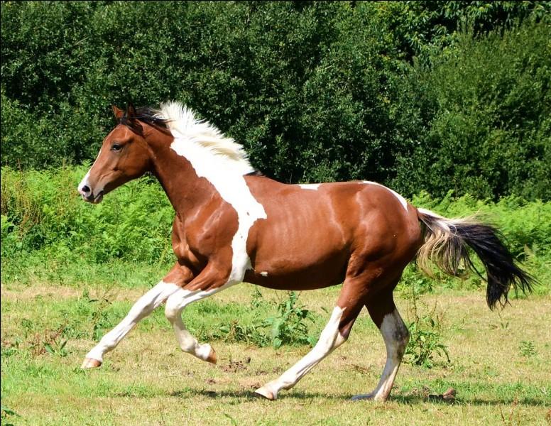 Quel est le nom de la robe de ce cheval ?