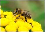 """Comment dit-on """"abeille"""" en italien ?"""