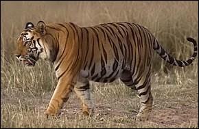 "Comment dit-on ""tigre"" en italien ?"