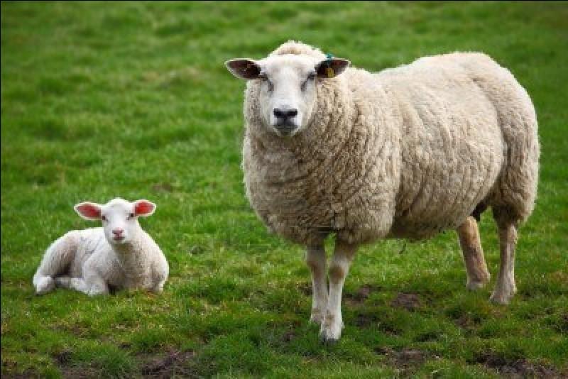 """Comment dit-on """"mouton"""" ?"""