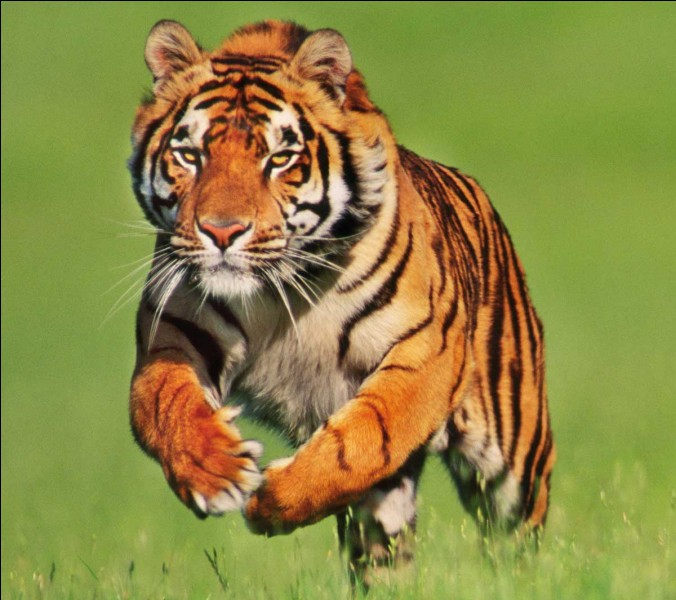 """Comment dit-on """"tigre"""" ?"""