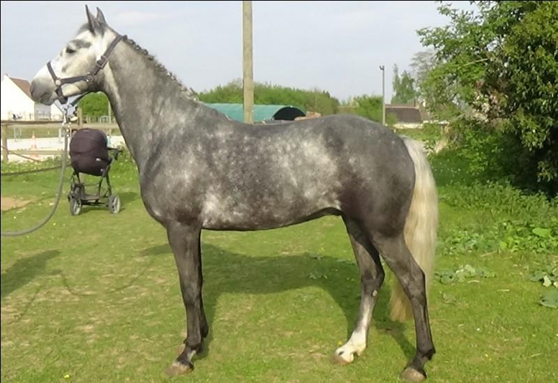 Quel est le nom de cette race de cheval ?