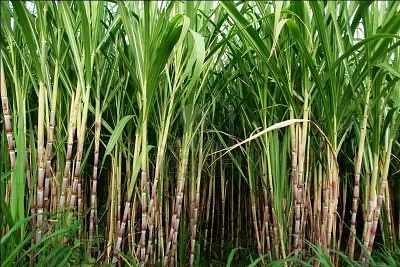 Quel est le principal pays producteur de cannes à sucre ?