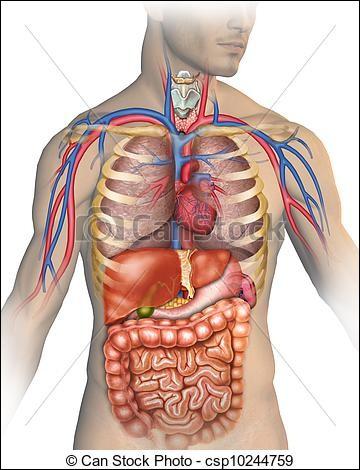 De quel organe du corps humain dit-on qu'il a une forme de pain de sucre ?