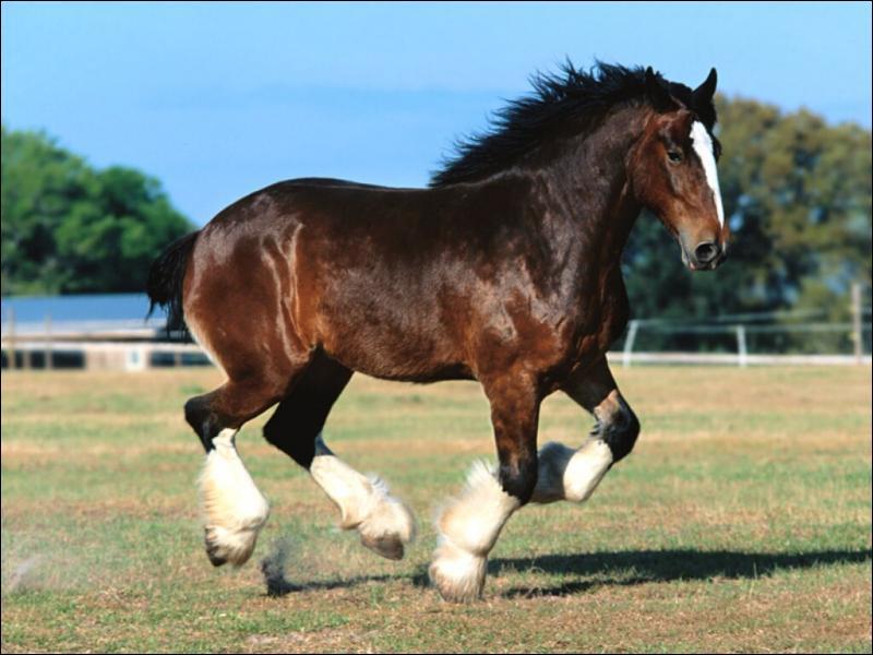 Ce cheval de trait lourd est un ...