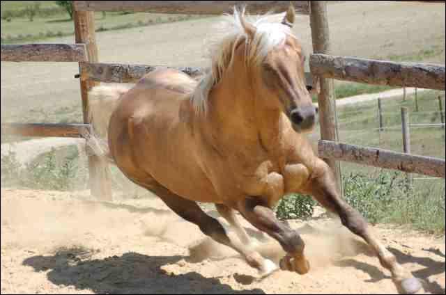 Quelle est la couleur de ce Quarter Horse ?