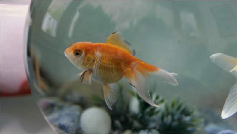 Que feriez-vous d'un poisson rouge ?