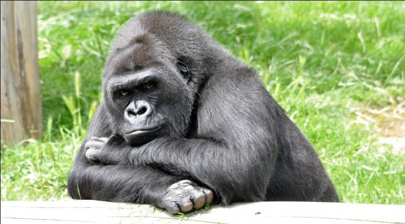 Quel immense artiste a crié gare au gorille en 1952 ?