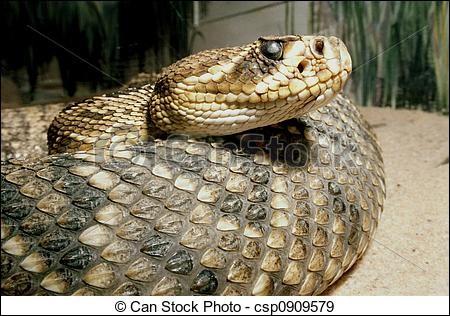Je suis un serpent vipéridé et je vis en Amérique. Qui suis-je ?