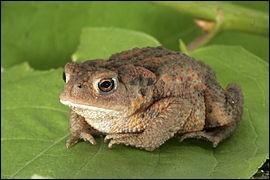 De quel amphibien s'agit-il ?