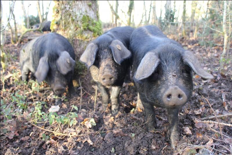 Quel est ce porcin ou suidé ?