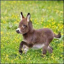 Comment appelle-t-on le petit d'un âne et d'une ânesse ?