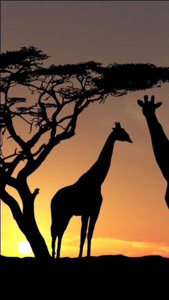 Quelle girafe fait le bonheur des enfants, sous forme de jouet ?