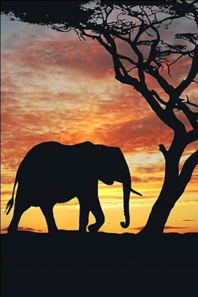 L'éléphant marche :