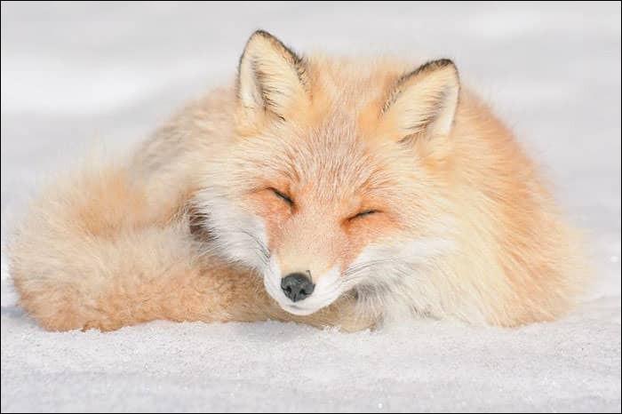 À quelle famille le renard appartient-il ?