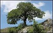 Qu'est-ce-qu'un chêne ?