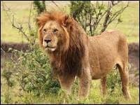 À quelle famille le lion appartient-il ?