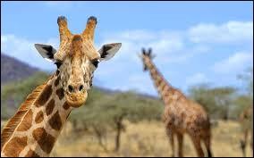 Combien mesure une girafe ?