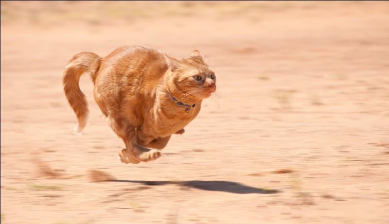 Quelle est la vitesse maximale qu'un chat peut atteindre ?
