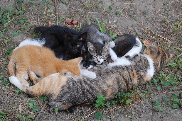 Dans une portée, combien de chatons peut avoir chaque père différent ?