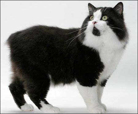 Le manx est un chat particulier. Pourquoi ?
