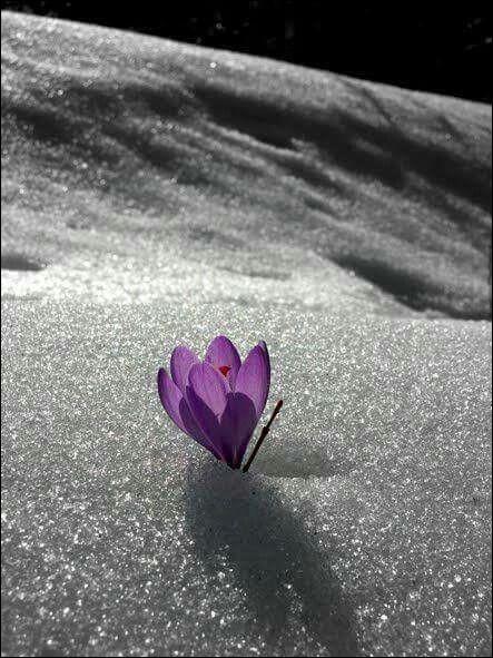 Quelle est cette fleur qui annonce la fin de l'hiver ?