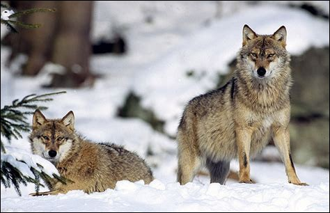 Comment appelle-t-on le couple dominant dans une meute de loups ?