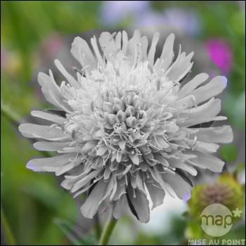 Il faut reconnaître cette fleur des champs habituellement parée de :