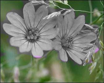Quelle est la couleur de ces fleurs qui ont des propriétés adoucissantes pour les voies respiratoires ?