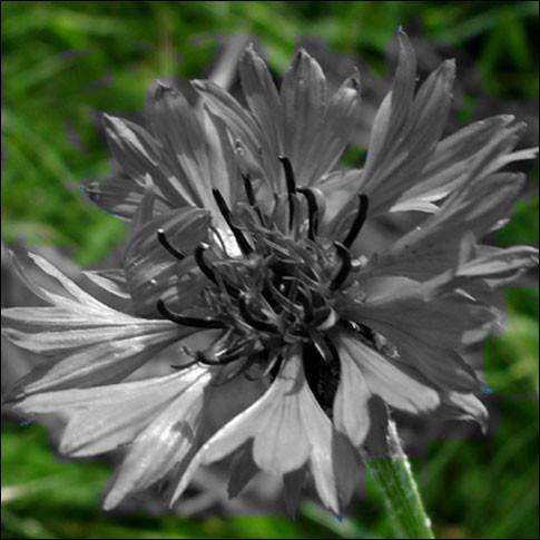Il faut reconnaître cette fleur et lui rendre sa couleur !