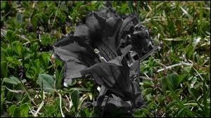Cette fleur en version noire, a l'air en deuil, comme une trompette de mort ! C'est pourtant une des plus belles fleurs de montagne ! Quelle couleur la rend resplendissante ?