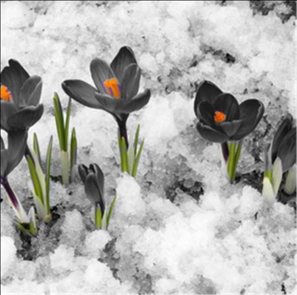 Ce sont les prémices du printemps ! Ces fleurs ont perdu leur couleur !