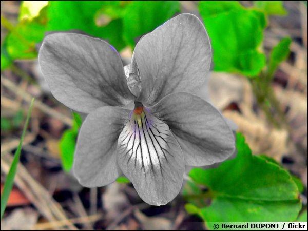 Quelle couleur fait la fierté de cette fleur, et lui a donné son nom ?