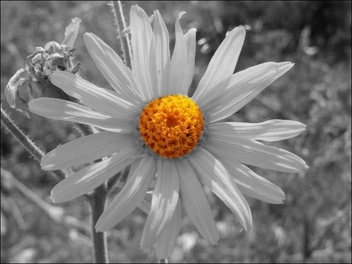 Quelle est la couleur de cette fleur qui luttera contre vos hématomes ?