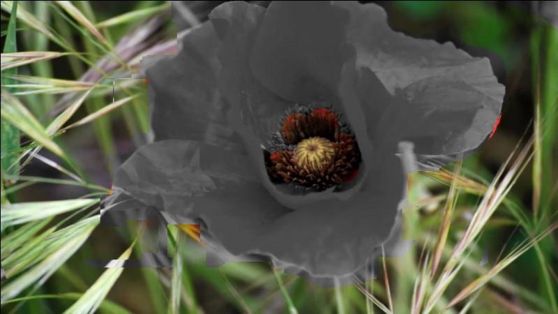 Rendez sa couleur à cette fleur !