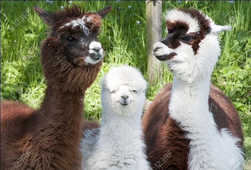 Les alpagas sont élevés pour leur peau douce et de couleur différente.