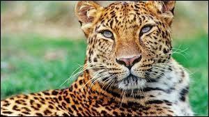 Où le léopard mange-t-il son repas ?